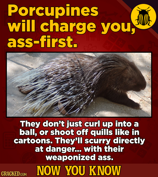 Porcupines will charge you, ass-first. They don't just curl up into a ball, or shoot off quills like in cartoons. They'll scurry directly at danger...