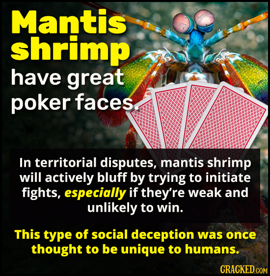 Mantis shrimp have great poker faces In territorial disputes, mantis shrimp will actively bluff by trying to initiate fights, especially if they're we