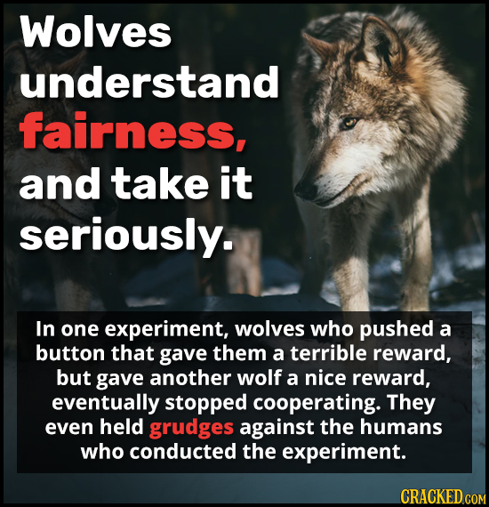 Wolves understand fairness, and take it seriously. In one experiment, wolves who pushed a button that gave them a terrible reward, but gave another wo