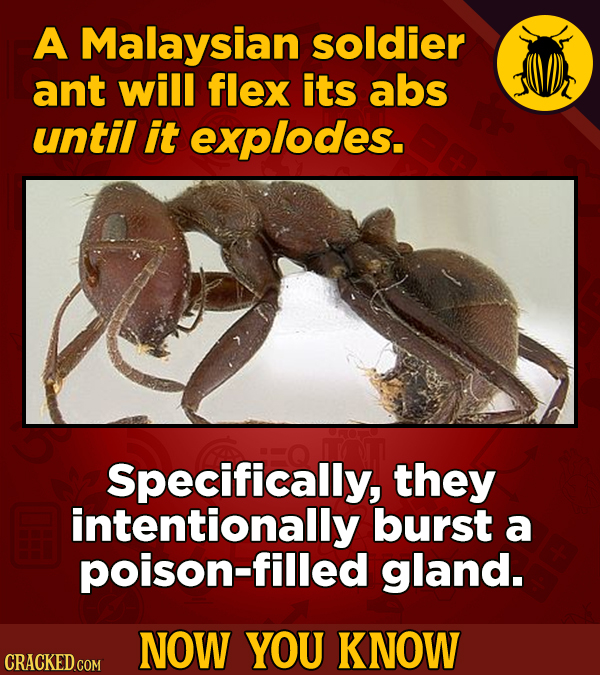 A Malaysian soldier ant will flex its abs until it explodes. Specifically, they intentionally burst a poison-filled gland. NOW YOU KNOW CRACKED COM