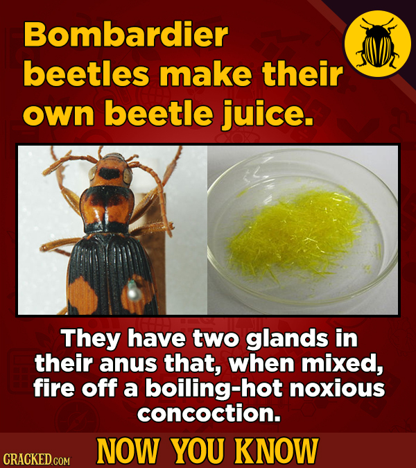 Bombardier beetles make their own beetle juice. They have two glands in their anus that, when mixed, fire off a boiling-hot noxious concoction. NOW YO