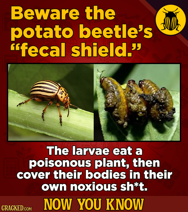 Beware the potato beetle's fecal shield. The larvae eat a poisonous plant, then cover their bodies in their own noxious sh*t. NOW YOU KNOW CRACKED C