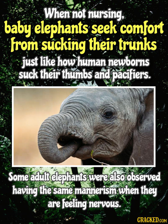 When not nursing, baby elephants seek comfort from sucking their trunks just like how human newborns suck their thumbs and pacifiers. Some adult eleph