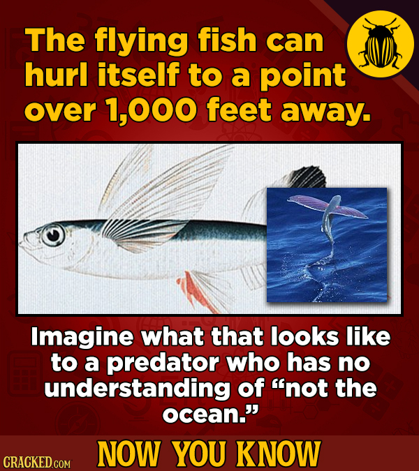 The flying fish can hurl itself to a point over 1,000 feet away. Imagine what that looks like to a predator who has no understanding of not the ocean