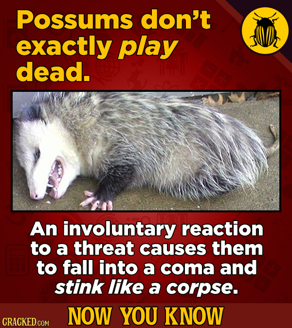Possums don't exactly play dead. An involuntary reaction to a threat causes them to fall into a coma and stink like a corpse. NOW YOU KNOW CRACKED COM