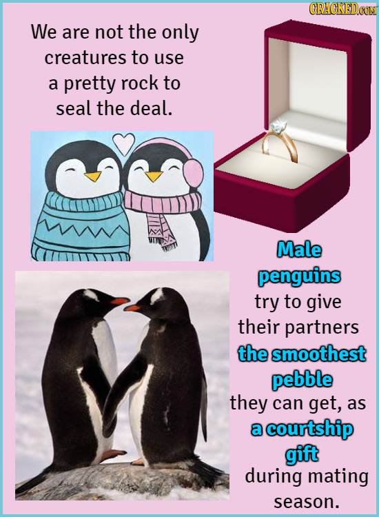 We are not the only creatures to use a pretty rock to seal the deal. Male penguins try to give their partners the smoothest pebble they can get, as a