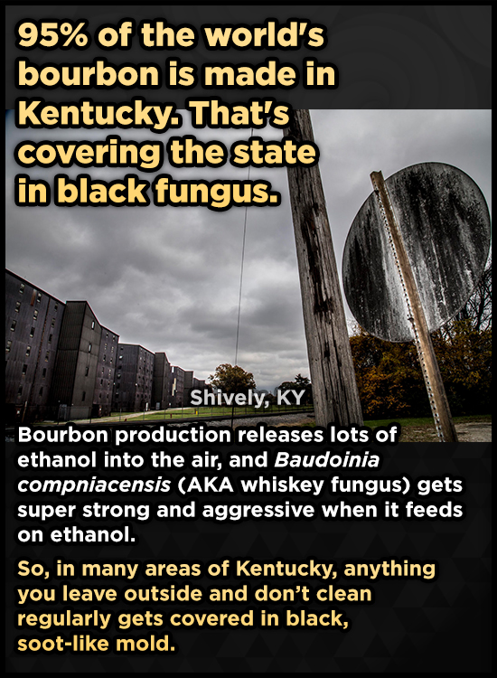 95% of the world's bourbon is made in Kentucky. That's covering the state in black fungus. Shively, KY Bourbon production releases lots of ethanol int