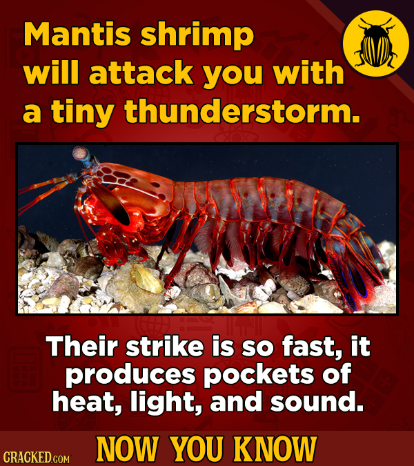 Mantis shrimp will attack you with a tiny thunderstorm. Their strike is SO fast, it produces pockets of heat, light, and sound. NOW YOU KNOW CRACKED C
