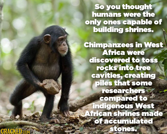 So you thought humans were the only ones capable of building shrines. Chimpanzees in West Africa were discovered to toss rocks into tree cavities, cre