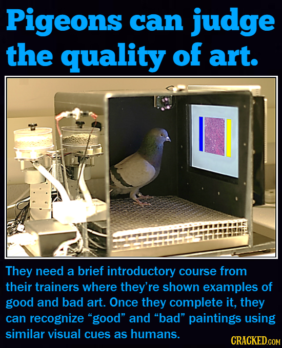 Pigeons can judge the quality of art. They need a brief introductory course from their trainers where they're shown examples of good and bad art. Once