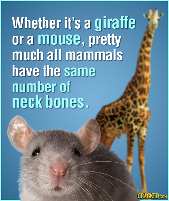 Whether it's a giraffe or a mouse, pretty much all mammals have the same number of neck bones. CRACKED COM