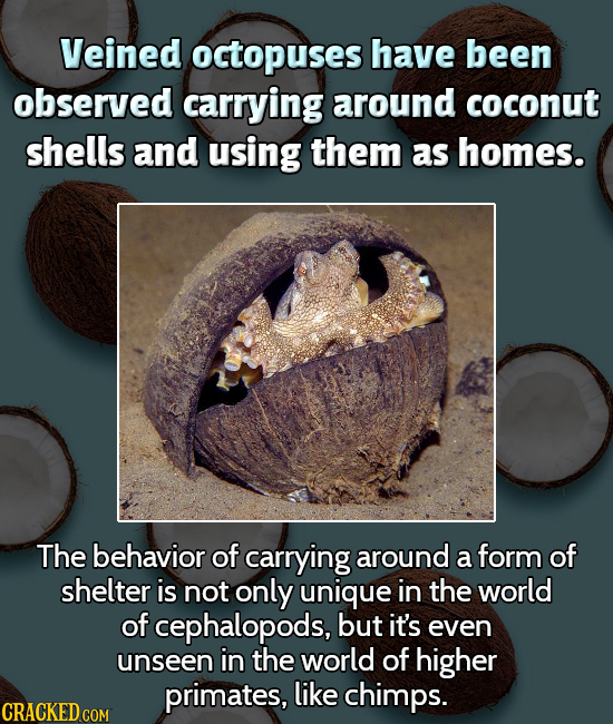 Veined octopuses have been observed carrying around coconut shells and using them as homes. The behavior of carrying around a form of shelter is not o