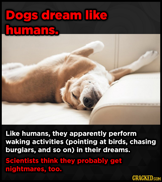 Dogs dream like humans Like humans, they apparently perform waking activities (pointing at birds, chasing burglars, and so on) in their dreams. Scient
