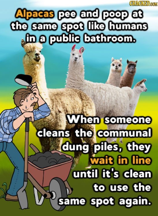 CRACKEDOON AIpacas pee and POoP At the same spot like humans in a publis bathroom. When someone cleans the communal dung piles, they wait in line unti
