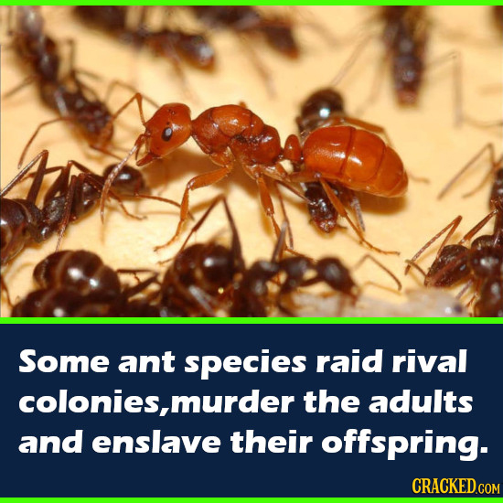 Some ant species raid rival colonies, murder the adults and enslave their offspring. CRACKED.COM