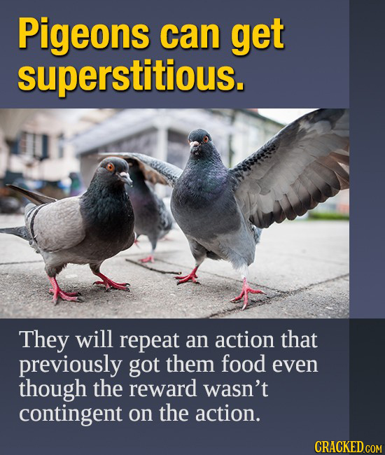 Pigeons can get superstitious. They will repeat an action that previously got them food even though the reward wasn't contingent on the action.