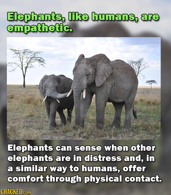 Elephants, like humans, are empathetic. Elephants can sense when other elephants are in distress and, in a similar way to humans, offer comfort throug