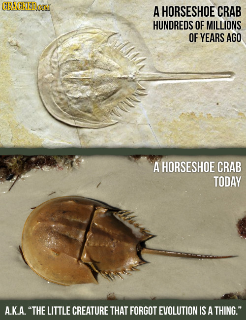 A HORSESHOE CRAB HUNDREDS OF MILLIONS OF YEARS AGO A HORSESHOE CRAB TODAY A.K.A. THE LITTLE CREATURE THAT FORGOT EVOLUTION IS A THING.