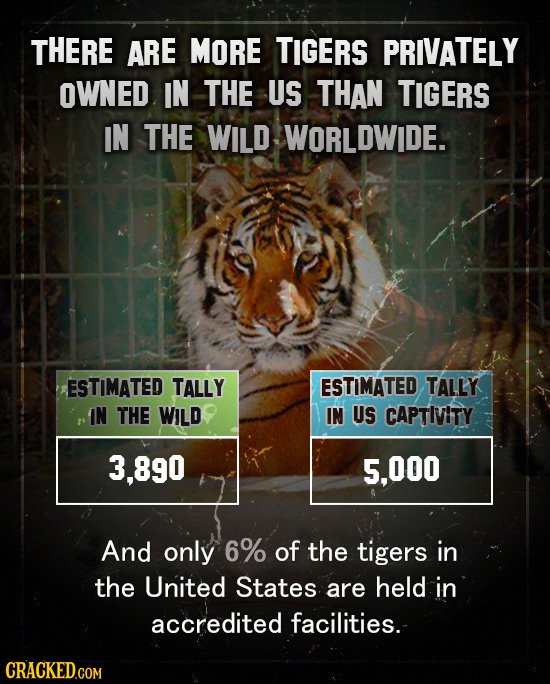 THERE ARE MORE TIGERS PRIVATELY OWNED IN THE US THAN TIGERS IN THE WILD WORLDWIDE. ESTIMATED TALLY ESTIMATED TALLY IN THE WILD IN US CAPTIVITY 3.890 5