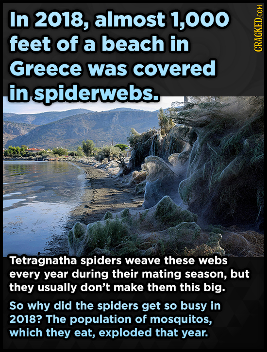 In 2018, almost 1,000 feet of a beach in Greece covered cRAGh was in spiderwebs. Tetragnatha spiders weave these webs every year during their mating s