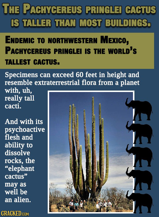 THE PACHYCEREUS PRINGLEI CACTUS IS TALLER THAN MOST BUILDINGS. ENDEMIC TO NORTHWESTERN MExico, PACHYCEREUS PRINGLEI IS THE WORLD'S TALLEST CACTUS. Spe