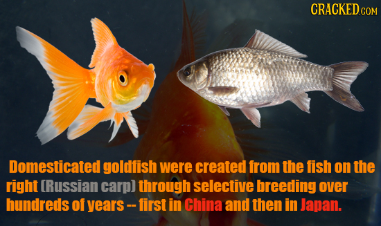 CRACKED COM Domesticated goldfish were created from the fish on the right Russian carp) through selective breeding over hundreds of years- first in Ch