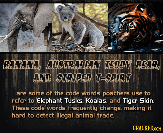 BANANAD AUSTRALIAN TEDDY REAR aabe AND STRIPED T-SHIRT are SOme of the code words poachers use to Refer to Elephant Tusks. Koalas. and Tiger Skin. The