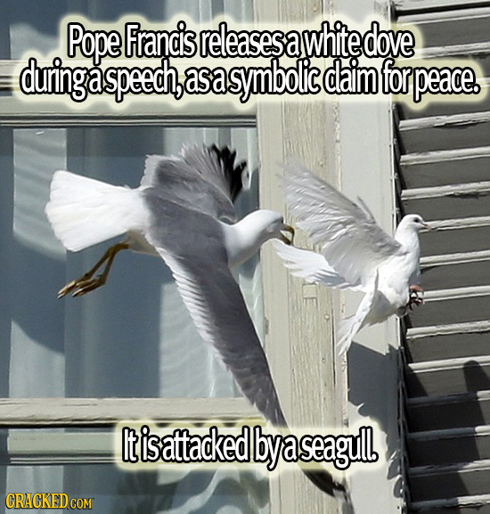 Pope Francis releasess a white dove during a speech, asa symbolic daim for peace. It is attacked bya a seagul CRACKED COM