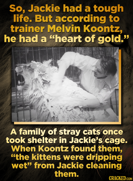 So, Jackie had a tough life. But according to trainer Melvin Koontz, he had a heart of gold. A family of stray cats once took shelter in Jackie's ca