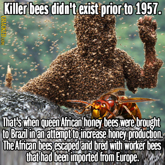 Killer bees didn't exist prior to 1957. That's when queen African honey bees were brought to Brazil in an attempt to increase honey production. The Af