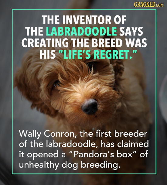 CRACKED c COM THE INVENTOR OF THE LABRADOODLE SAYS CREATING THE BREED WAS HIS LIFE'S REGRET. Wally Conron, the first breeder of the labradoodle, has