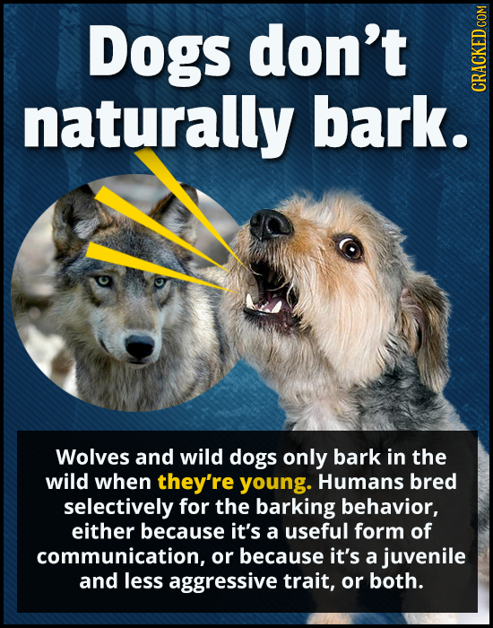 Dogs don't naturally bark. CRACKED COM Wolves and wild dogs only bark in the wild when they're young. Humans bred selectively for the barking behavior
