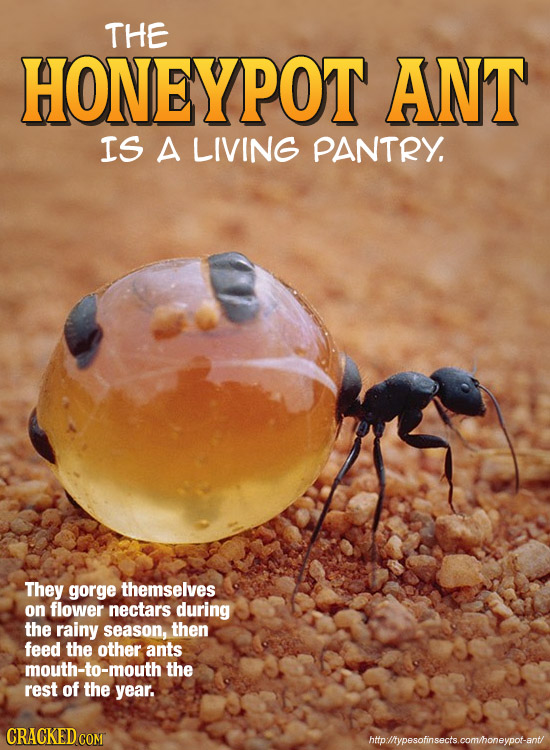 THE HONEYPOT ANT IS A LIVING PANTRY. They gorge themselves on flower nectars during the rainy season, then feed the other ants mouth-to-mouth the rest