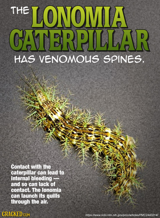 THE LONOMIA CATERPILLAR HAS VENOMOUS SPINES. Contact with the caterpillar can lead to internal bleeding - and so can lack of contact. The lonomia can