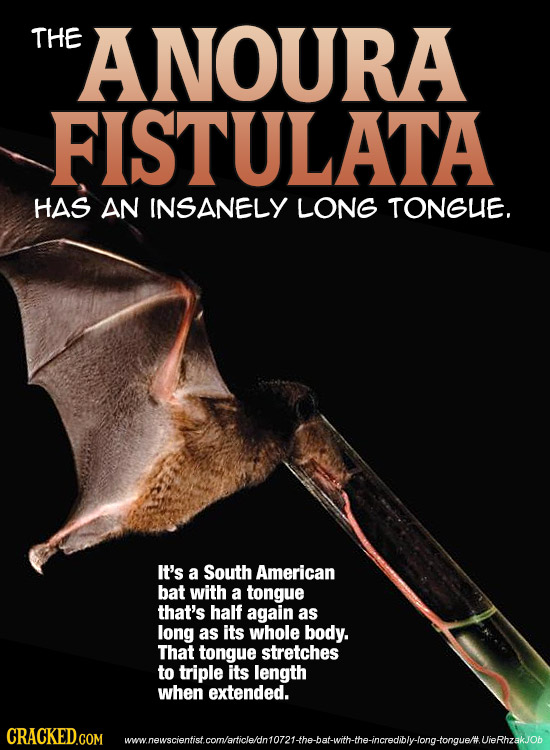 THE ANOURA FISTULATA HAS AN INSANELY LONG TONGUE. It's a South American bat with a tongue that's half again as long as its whole body. That tongue str